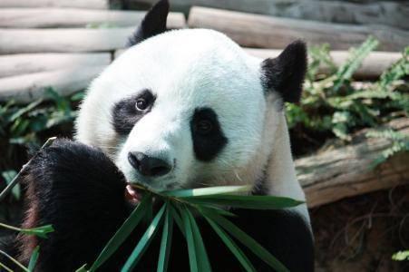 大熊猫吃竹子的原因